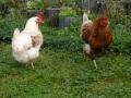 oui ce seront bien des oeufs de poules du jardin pour le petit déj chez zen-tempel!